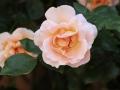 Fête des roses 2018_09