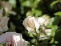 Fête des roses 2018_20