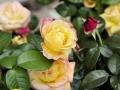 Fête des roses 2017_19