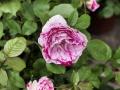 Fête des roses 2017_21