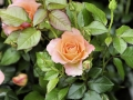 Fête des roses 2017_22