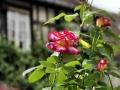 Fête des roses 2017_44